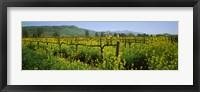 Framed Wild mustard in a vineyard, Napa Valley, California