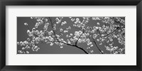 Framed Cherry Blossoms Washington DC (black and white)