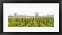 Framed Oak trees in a vineyard, Guerneville Road, Sonoma Valley, Sonoma County, California, USA