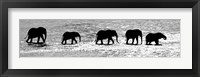 Framed Herd of African Elephants Crossing the Uaso Nyiro River, Kenya (black & white)