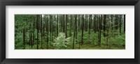 Framed Flowering Dogwood (Cornus florida) trees in a forest, Alabama, USA