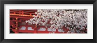 Framed Cherry Blossom Kamigamo Shrine Kyoto Japan