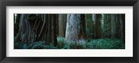 Framed Redwood Trees and Ferns, California