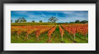 Framed Autumn vineyard at Napa Valley, California, USA