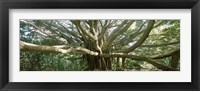 Framed Banyan tree stretches in all directions, Maui, Hawaii, USA