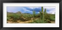 Framed Saguaro cactus (Carnegiea gigantea) in a desert, Saguaro National Park, Arizona