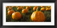 Framed Close Up of Pumpkins in a  Field, Half Moon Bay, California