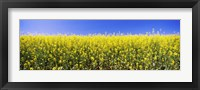 Framed Close up of Canola in bloom, Idaho