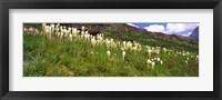 Framed Close Up of Beargrass, US Glacier National Park, Montana
