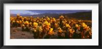 Framed Cholla cactus at sunset, Joshua Tree National Park, California