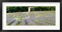 Framed Barn in the lavender field, Luberon, Provence, France