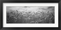 Framed Wheat crop growing in a field, Palouse Country, Washington State (black and white)