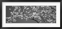 Framed Cherry Blossoms Washington DC (black and white)