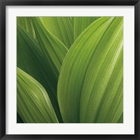 Framed Corn Lily