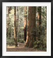 Framed Redwoods 2