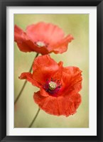 Framed Papaver Passion