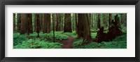 Framed Redwoods Path