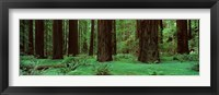 Framed Redwoods, Rolph Grove