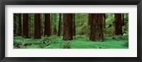 Framed Redwoods, Rolph Grove