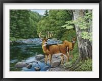 Framed Streamside - White Tail Deer