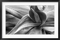 Framed Agave Americana