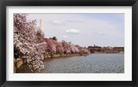 Framed Cherry Blossom trees in the Tidal Basin with the Washington Monument in the background, Washington DC, USA
