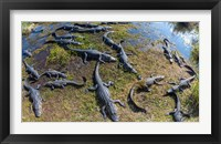 Framed Alligators along the Anhinga Trail, Everglades National Park, Florida, USA