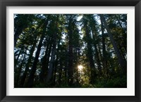 Framed Redwood trees in a forest, Del Norte Coast Redwoods State Park, Del Norte County, California, USA