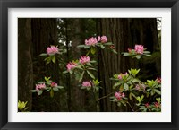 Framed Rhododendron Flowers and Redwood Trees in a Forest, Del Norte Coast Redwoods State Park, Del Norte County, California, USA