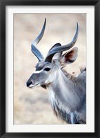 Framed Greater Kudu (Tragelaphus strepsiceros) in a forest, Samburu National Park, Rift Valley Province, Kenya