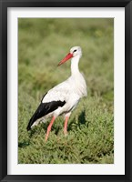 Framed White stork (Ciconia ciconia) in a field, Ngorongoro Crater, Ngorongoro, Tanzania