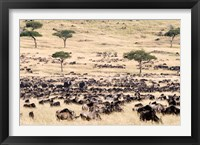 Framed Great migration of wildebeests, Masai Mara National Reserve, Kenya