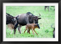 Framed Newborn Wildebeest Calf with its Parents, Ndutu, Ngorongoro, Tanzania