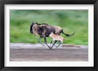 Framed Newborn wildebeest calf running with its mother, Ndutu, Ngorongoro, Tanzania