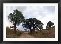 Framed Baobab Trees (Adansonia digitata) in a forest, Tarangire National Park, Tanzania