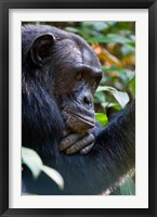 Framed Chimpanzee, Kibale National Park, Uganda