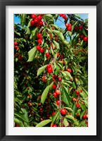 Framed Cherries to be Harvested, Cucuron, Vaucluse, Provence-Alpes-Cote d'Azur, France (vertical)
