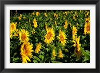 Framed Sunflowers (Helianthus annuus) in a field, Vaugines, Vaucluse, Provence-Alpes-Cote d'Azur, France