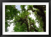 Framed Low angle view of trees in a forest, Hoh Rainforest, Olympic National Park, Washington State, USA