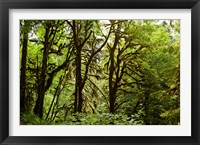 Framed Trees in a Forest, Quinault Rainforest, Olympic National Park, Olympic Peninsula, Washington State