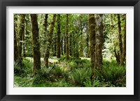 Framed Ferns and Trees, Quinault Rainforest, Olympic National Park, Washington State