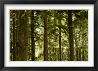 Framed Trees in a forest, Queets Rainforest, Olympic National Park, Washington State, USA
