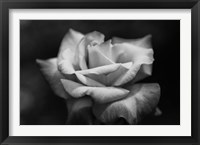 Framed Close-up of a rose, Los Angeles County, California, USA