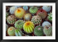 Framed Close-up of multi-colored Cacti