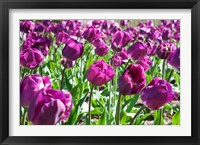 Framed Purple Tulips