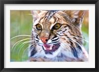 Framed Close-up of a Bobcat (Lynx rufus)