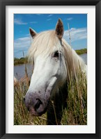 Framed Close up of White Camargue Horse, Camargue, Saintes-Maries-De-La-Mer, Provence-Alpes-Cote d'Azur, France