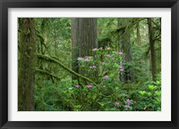Framed Redwood trees and Rhododendron flowers in a forest, Jedediah Smith Redwoods State Park, Crescent City, California