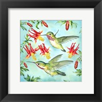 Framed Calliopes Hummingbirds