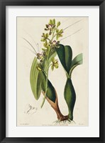 Framed Spring Orchid III